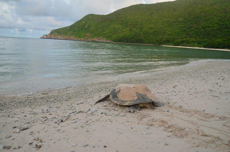 A mother turtle goes back to the sea after laying the eggs on Bay Canh island, Con Dao. Photo: dulichvietnam.com
