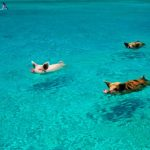 Fascinating swimming with pigs in Exumas Bahamas