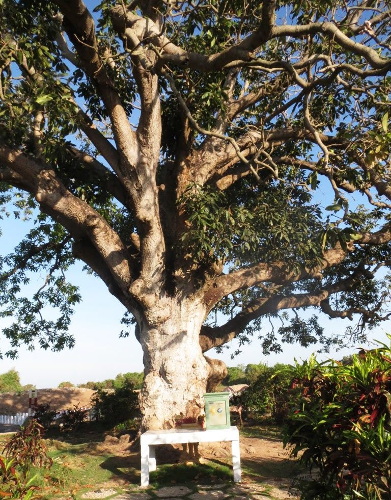 300 year old mango tree in Bac Lieu. Photo: danviet.vn