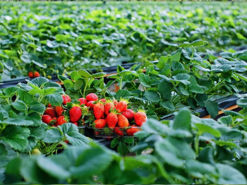 Biofresh strawberry farm in dalat 2