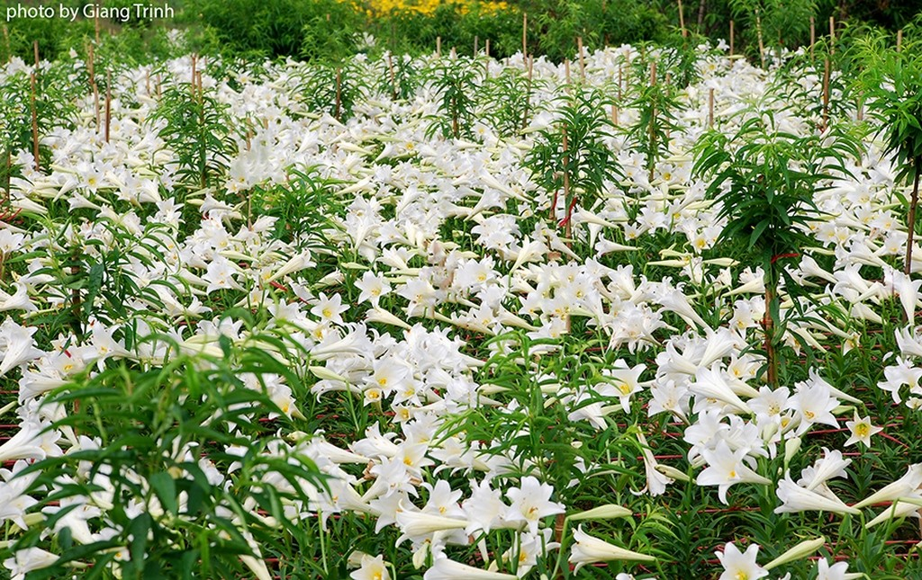 Forest of white flowers_Hanoi Spring Photo_Photo by Giang Trinh