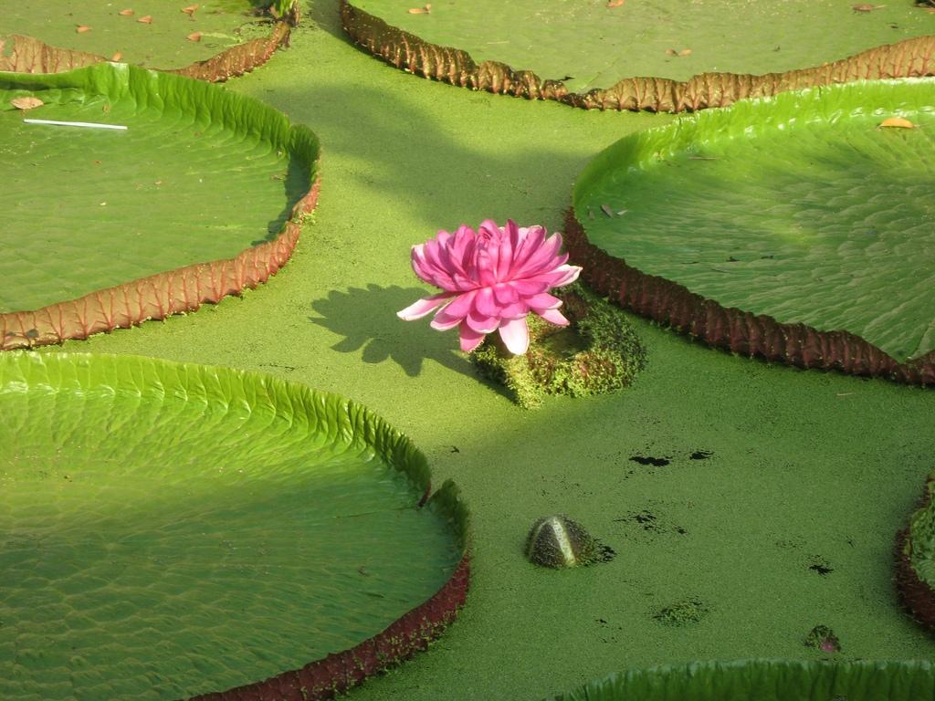 Giant lotus in Phuoc Kien temple, Dong Thap destination