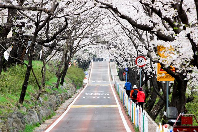 Hwagae+4km+Cherry+Blossom+Road south korea spring trip