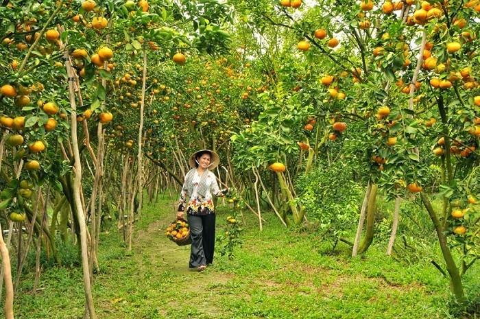 The fantastically fresh atmosphere inside Lai Vung mandarin orange orchards. photo: dailytravelvietnam.com