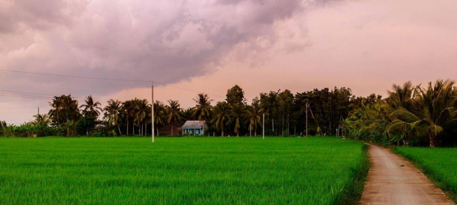 Green rice fields in the Mekong Delta. Photo: cabarettravel.com
