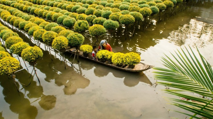 Tet flower in the Mekong Delta. Photo: tuoitrenews.vn