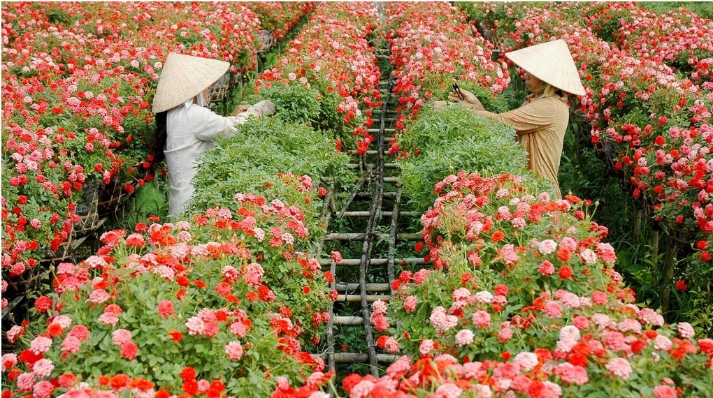 The farmers are taking care of the flowers. photo: mytour.vn
