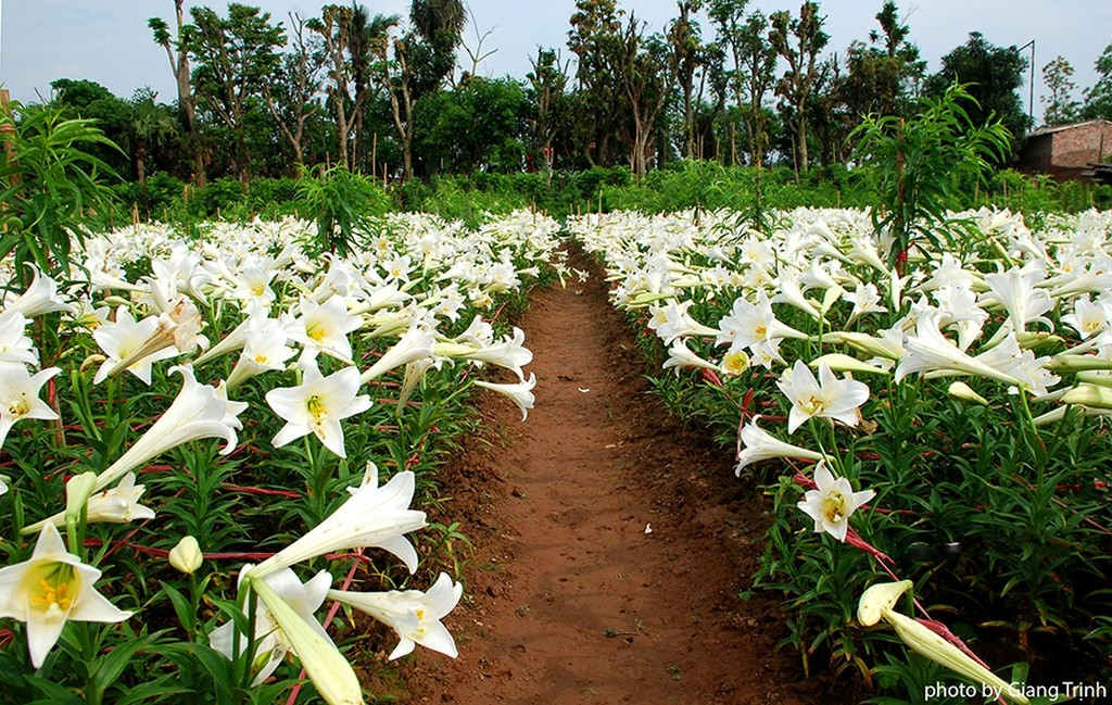 Straight beds of lily flowers_Hanoi Spring Photo_Photo by Giang Trinh