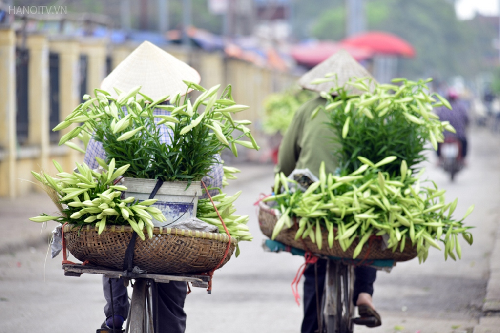 The prestine white of lily flowers_Hanoi Spring Photo_Source hanoitv.vn