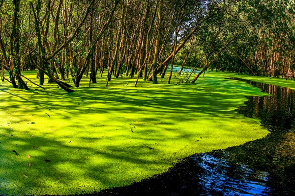 Tra Su cajuput forest An giang Vietnam green floating seasons water tourist attraction travel guide