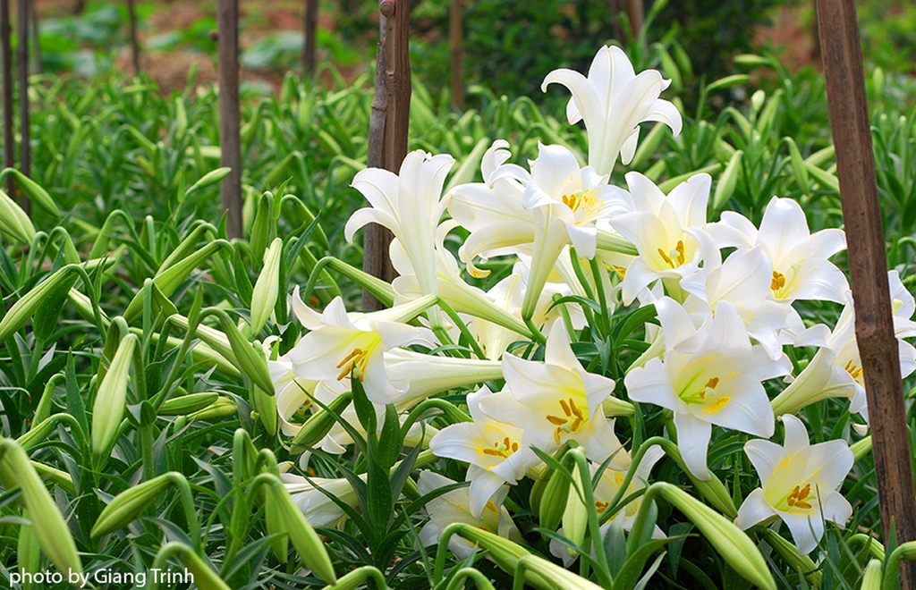 White lily flowers_Hanoi Spring Photo_Photo by Giang Trinh