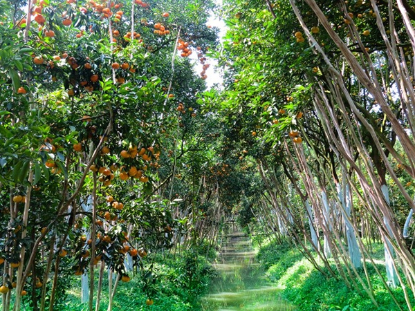 A tangerine garden... Photo: phunutoday.vn