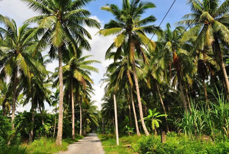 The land of coconut. Photo: mientay.cungbandulich.info