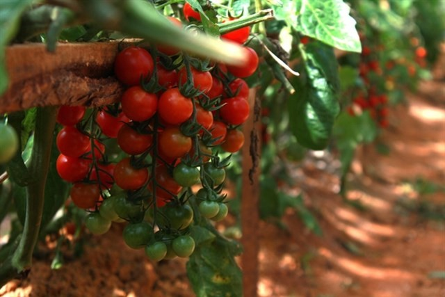 dalat japanese strawberry garden must visit 5