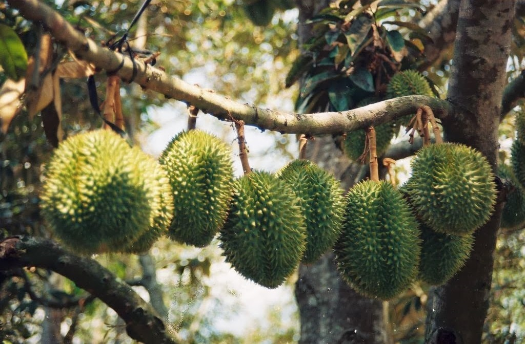 Durian garden in Ben Tra. Photo: mekongdeltacruises.com