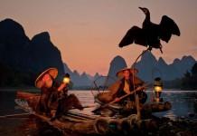 fishing by cormorants in li jiang river china