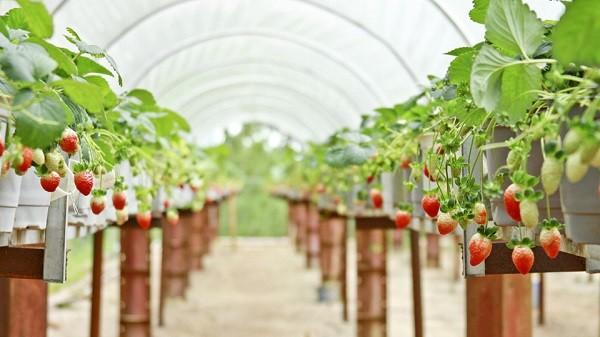 hiep luc strawberry garden in dalat travel tips 3