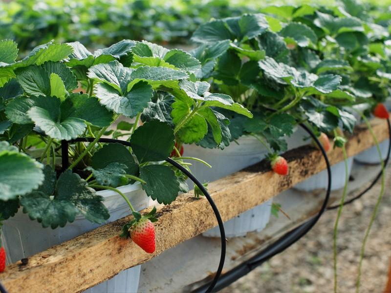 japanese dalat strawberry garden 2