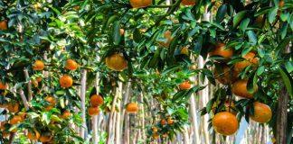 lai vung mandarins gardens dong thap mekong delta vietnam (1)