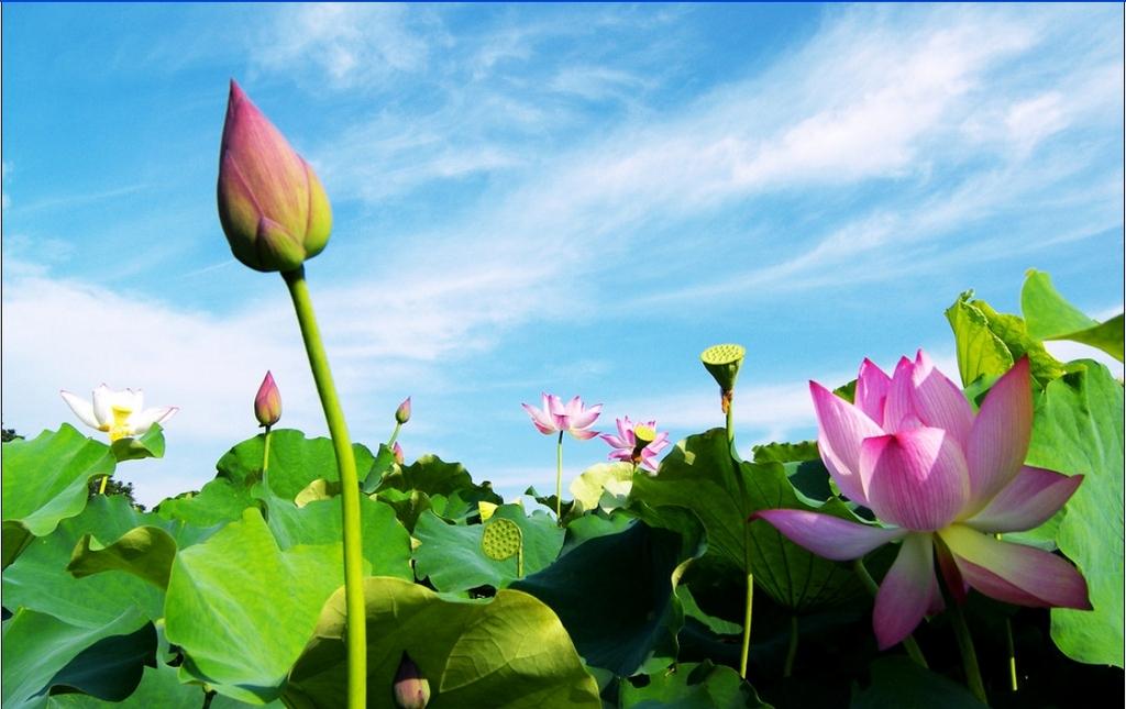 a closer look at lotus Dong Thap Muoi. photo: senta.vn