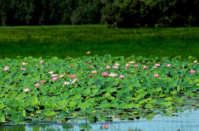 Lotus in Dong Thap. Photo: mapio.net