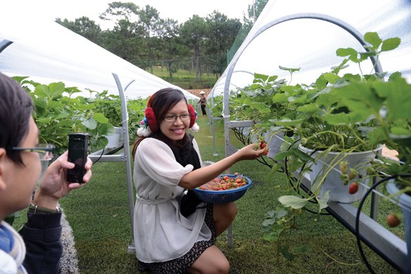 picking strawberry in dalat in spring travel tips