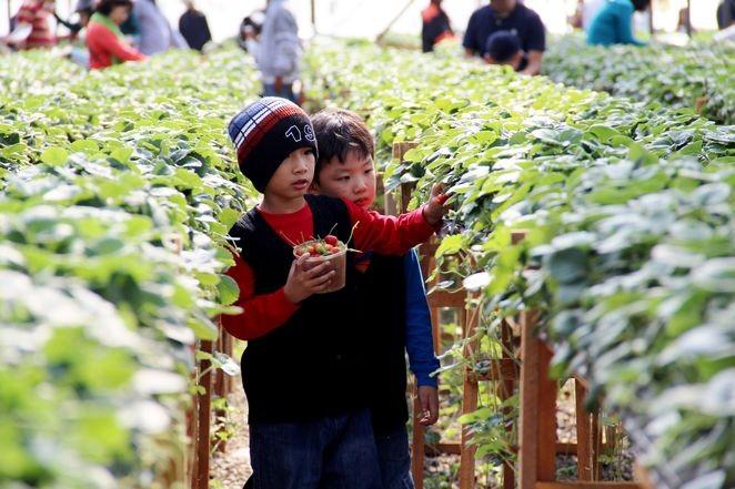 picking strawberry in dalat travel tips
