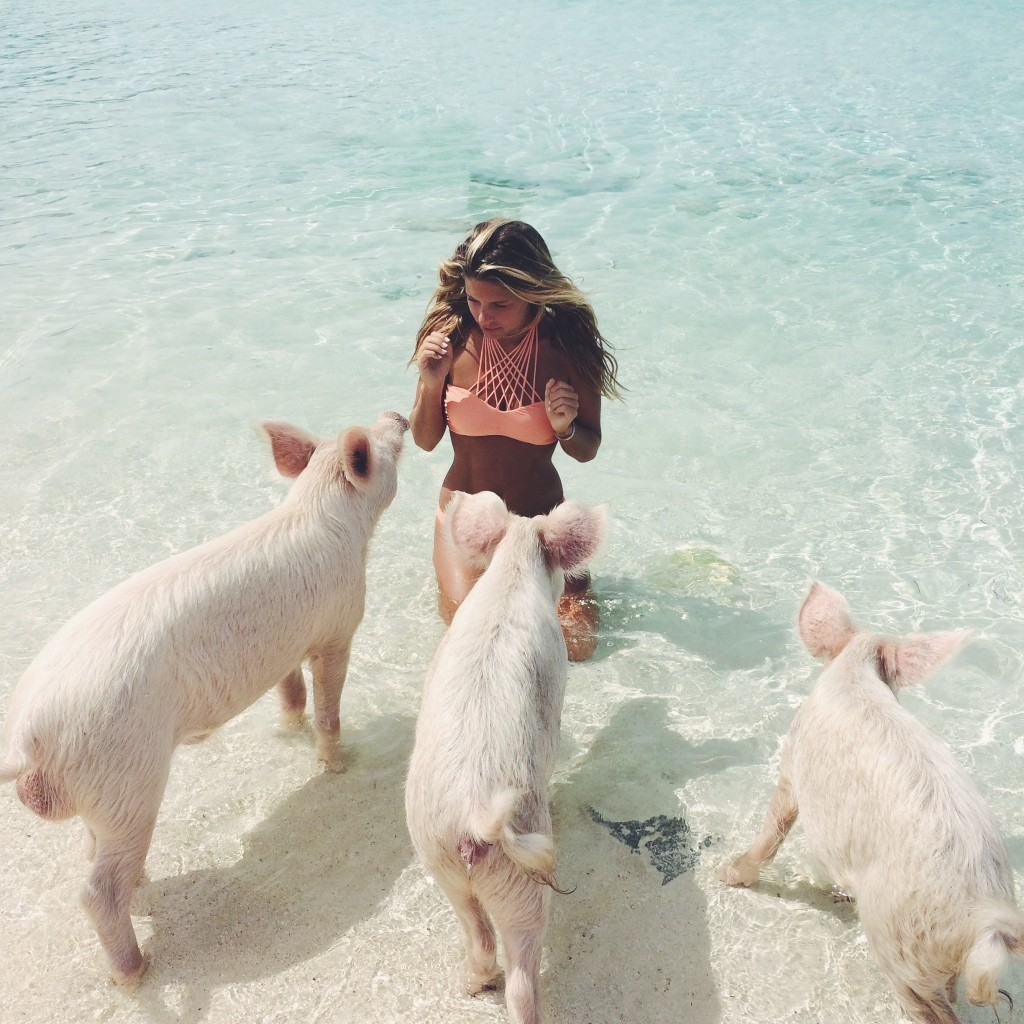 Pig Swimming In The Exumas Bahamas