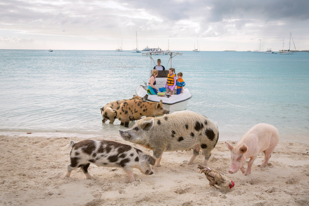 "This is my very favorite photograph from the trip. This is my peaceable kingdom, my fantasy world where people are secondary players. This photograph plays out my fantasy of being one of the pigs, immersed in ""pig culture."" Credit Robin Schwartz for The New York Times"