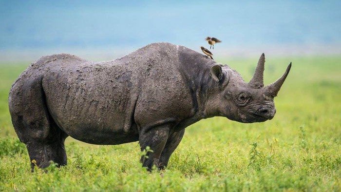 The right background can make all the difference. The blues and greens in this image by Yair Schwartz really make the rhino stand out. Image by africageographic.com