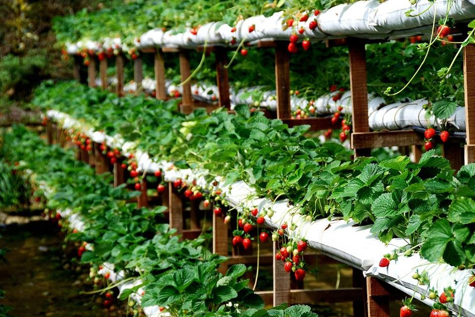 strawberry gardens in dalat city things to do