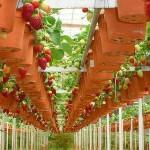 Travel to Dalat — Visit ripe strawberry gardens in Dalat