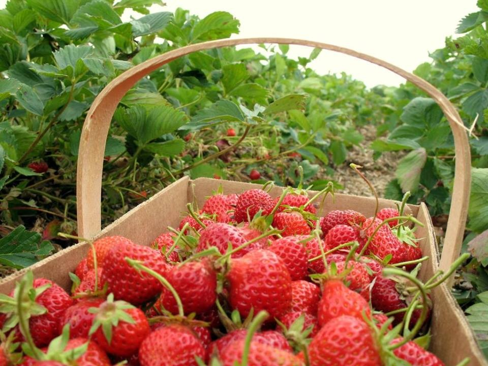 strawberry gardens in dalat things must do
