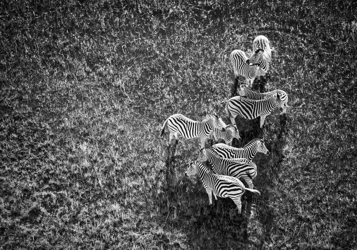 The key to great photography is knowing what you want and making plans to get the perfect shot like this aerial image of zebras in black and white by Andrea Galli. Image by africageographic.com