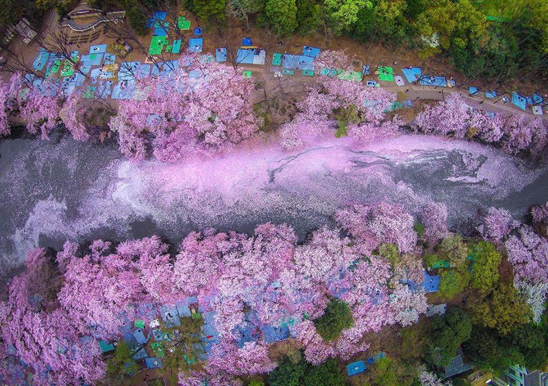 Cherry Blossoms Paint A Lake Purple In Tokyo amazing-places-japan