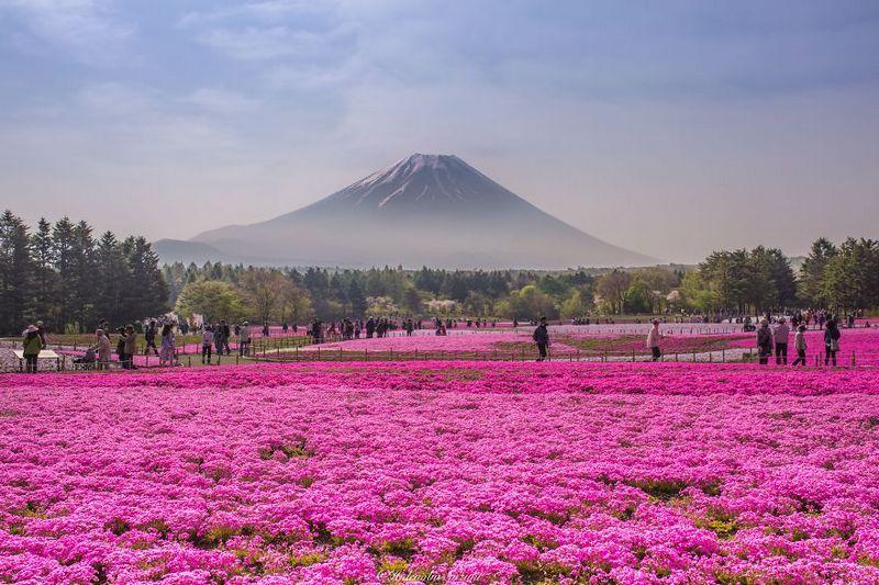 Fields Of Shibazakura amazing-places-japan