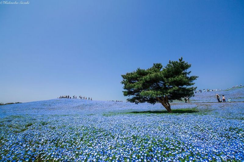 Million Baby Blue Eyes In Japan Hitachi Seaside Park