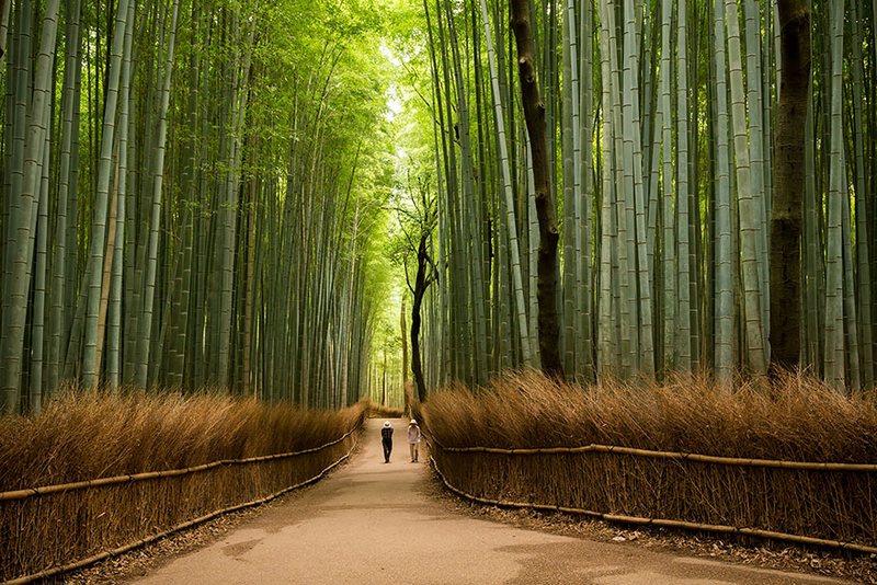 Sagano Bamboo Forest In Arashiyama japan