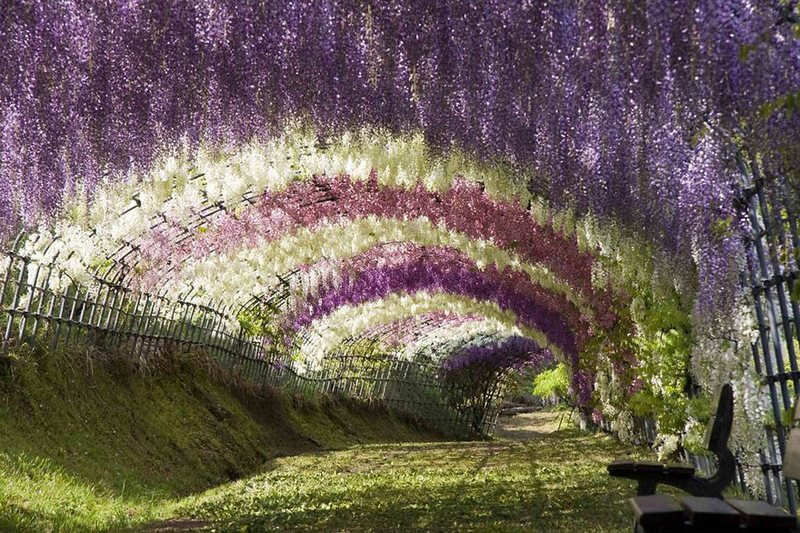 Wisteria Tunnel At Kawachi Fuji Gardens amazing-places-japan