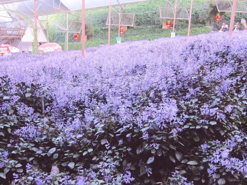 lavender cameron highlands malaysia