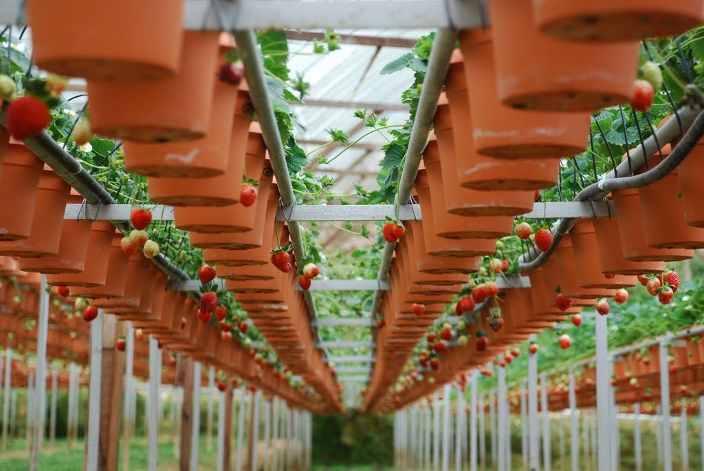 strawberry farm cameron highlands 2