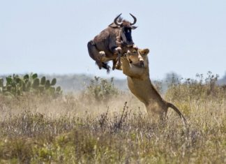 The six-foot jump of an antelope saves her from death. Kariega Reserve, South Africa. Photographer-Jacques Matthysen