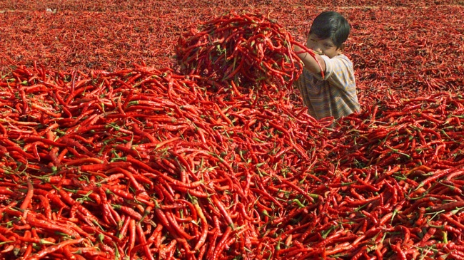 A boy puts red chilli peppers in a heap for making powder on a farm. Ahmedabad, India
