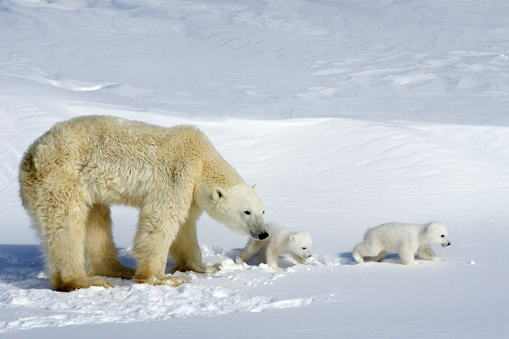 canada photo photography travel Edited-Polar-bears-748-575
