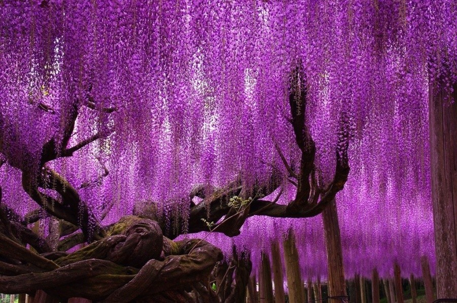 Wisteria trees, Japan 10 incredible photos of trees nature wildlife