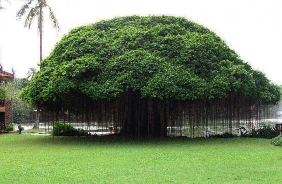A tree in Ficus, Philippines 10 incredible photos of trees nature wildlife