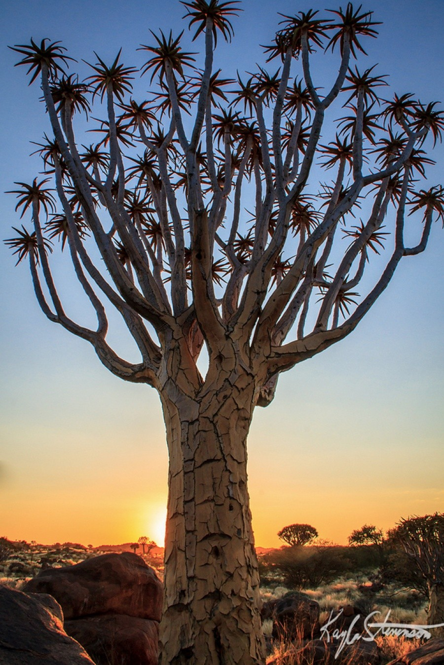 A Quiver tree, Namibia 10 incredible photos of trees nature wildlife