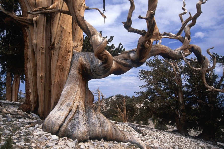 Bristlecone pine — the oldest trees on Earth 10 incredible photos of trees nature wildlife