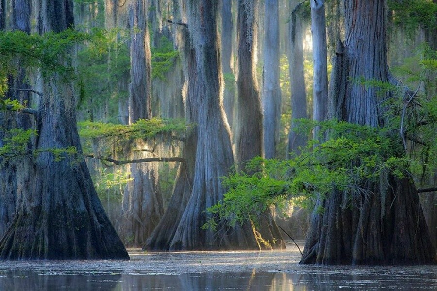 Cypress trees, Caddo Lake 10 incredible photos of trees nature wildlife