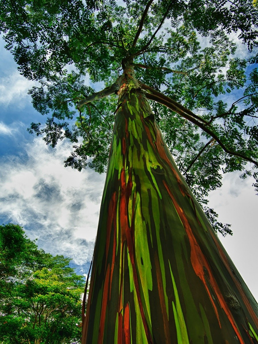 Rainbow Eucalyptus trees, Hawaii 10 incredible photos of trees nature wildlife